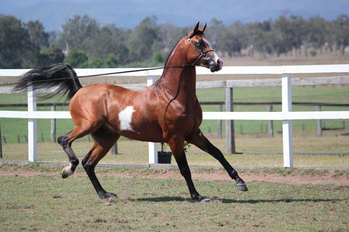 Арабская верховая лошадь