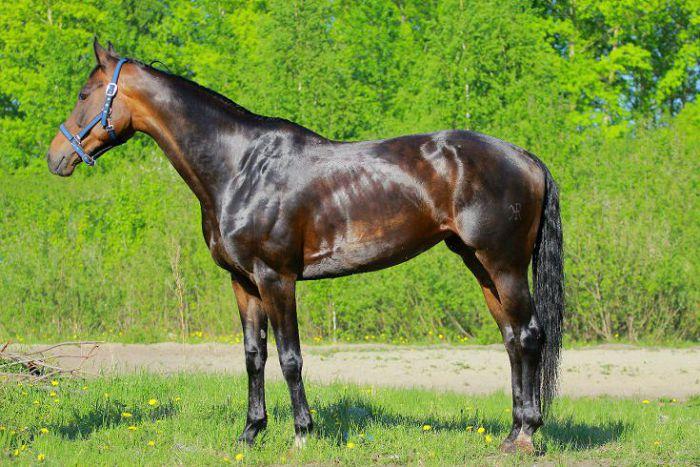 Ольденбургская лошадь