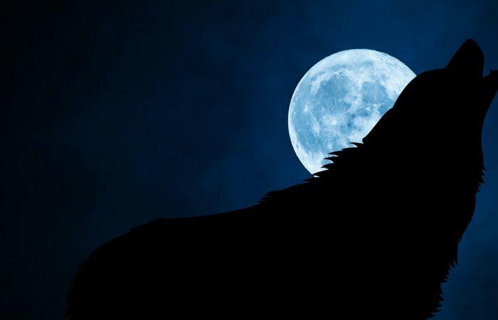 Зачем волки воют на полную Луну
