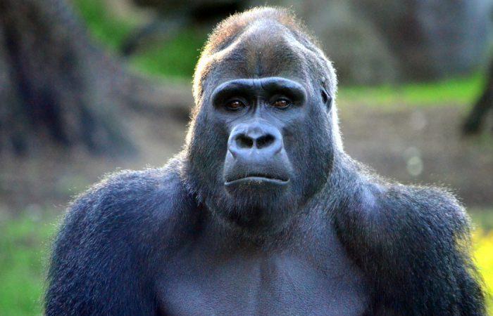 обезьяна похожая на человека