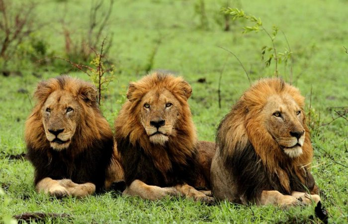 Лев азиатский