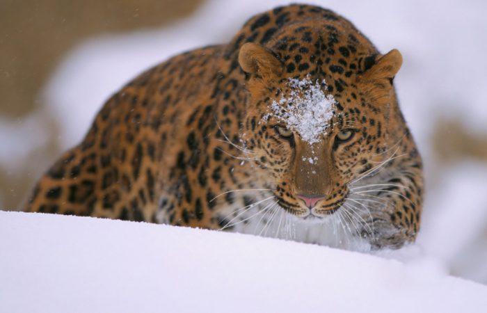 Леопард амурский