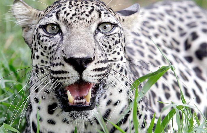 Леопард аравийский