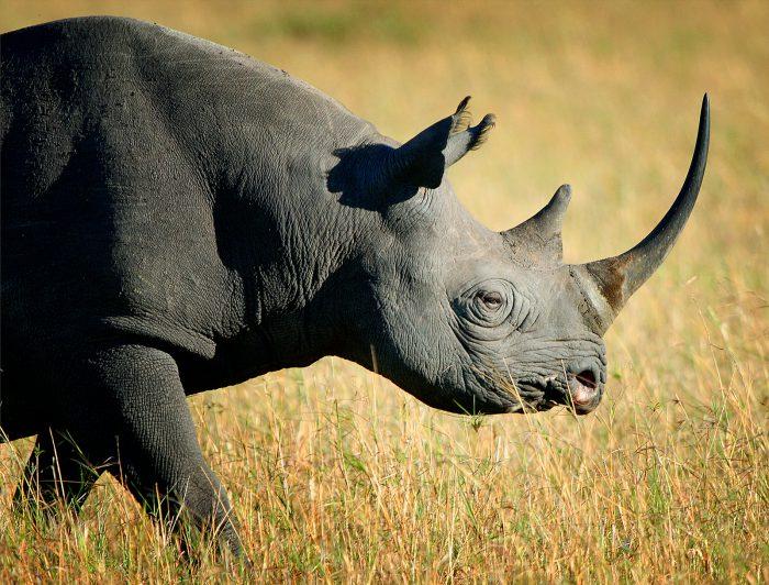 Носорог черный
