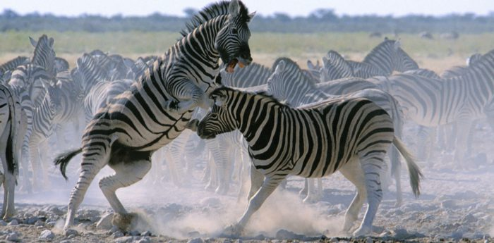 Поединки между самцами зебр