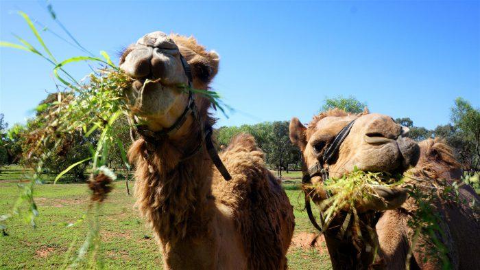 Верблюд довольствуется малым количеством пищи