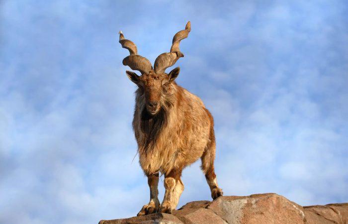 Винторогий козел (мархкур)