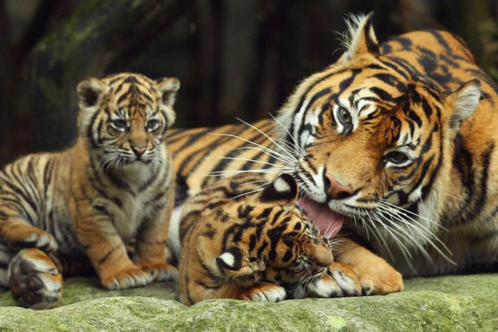 Тигриное потомство