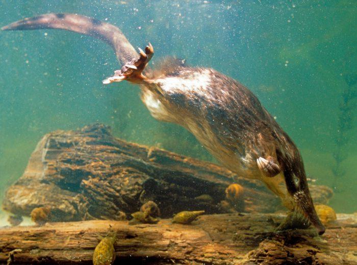 Фото выхухоля под водой