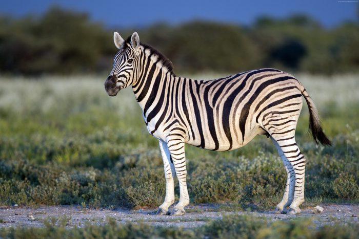 Зебра горна
