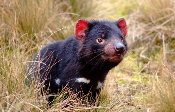 Сумчатый дьявол (тасманский дьявол)