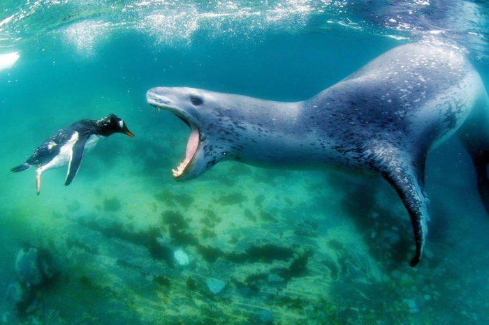Морской леопард со своей добычей — зазевавшимся пингвином