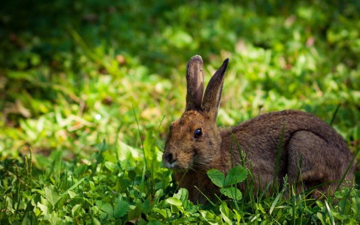 Летняя окраска зайца