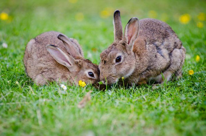 Пара кормящихся зайцев
