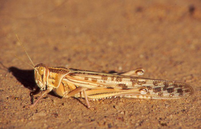 Пустынная саранча