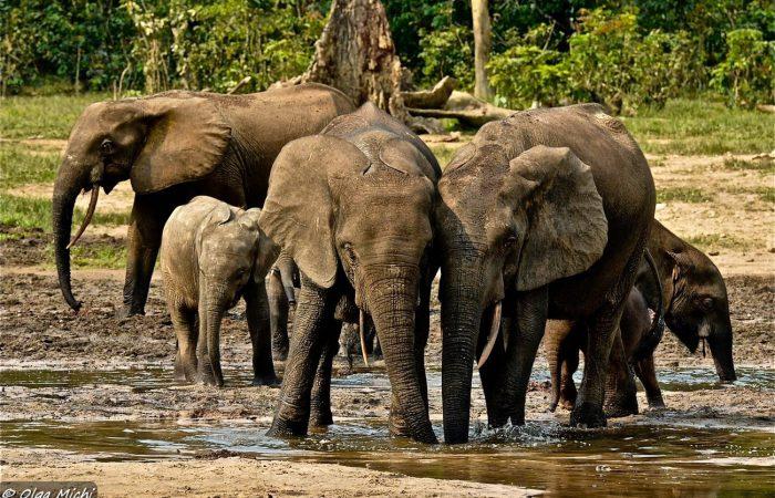 Слон лесной