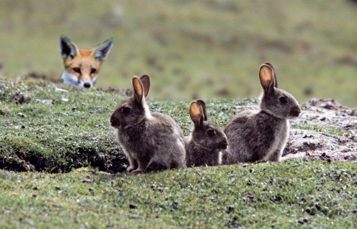 лиса и зайцы