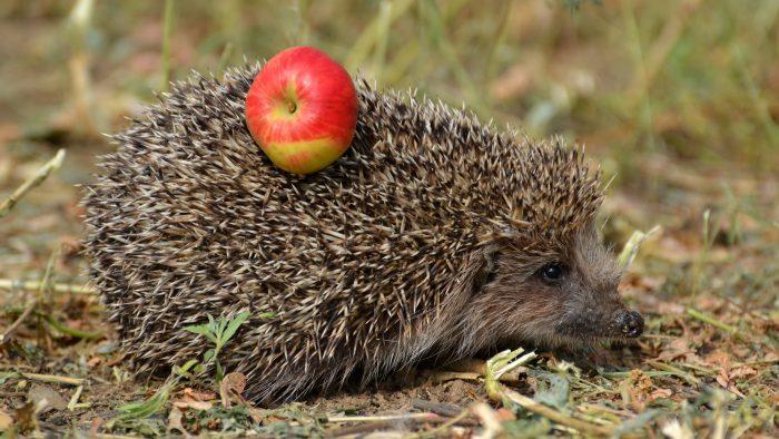 еж с яблоком на спине