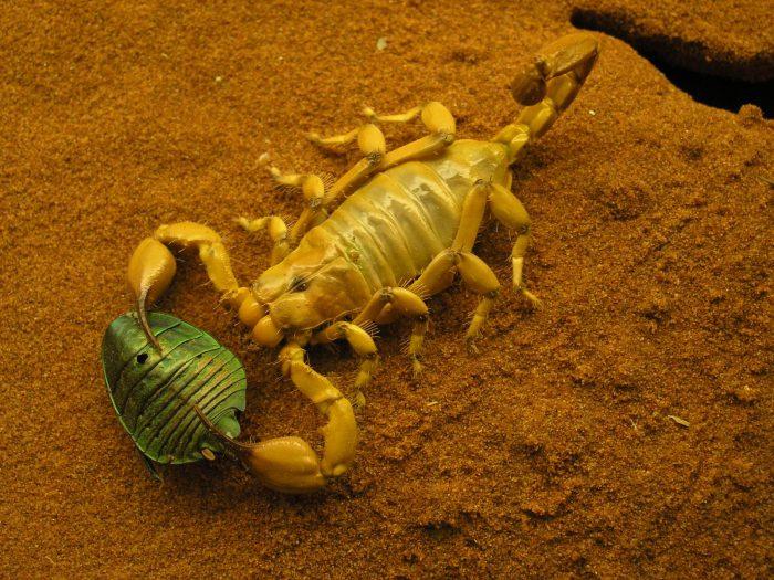 Скорпион на охоте