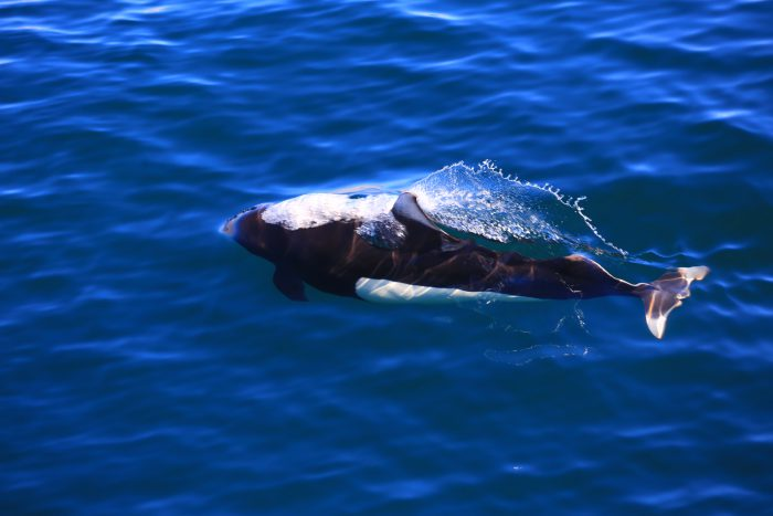 Белокрылая морская свинья