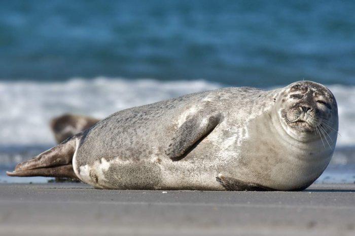 Тюлень обыкновенный