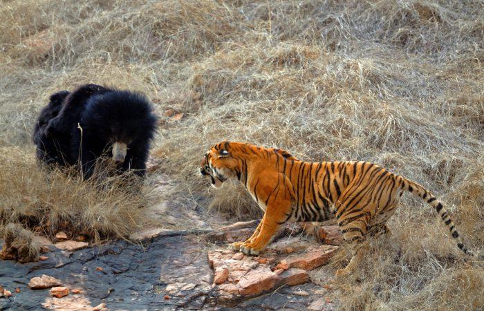 медведь против тигра