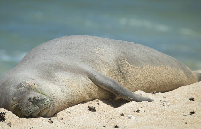 Тюлень-монах гавайский
