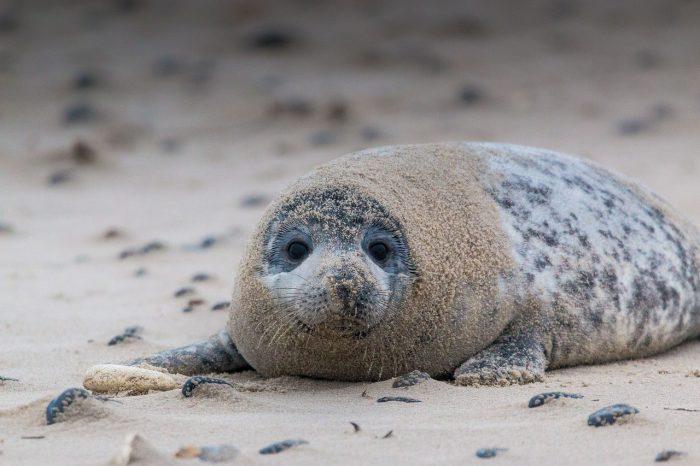 Тюлень серый
