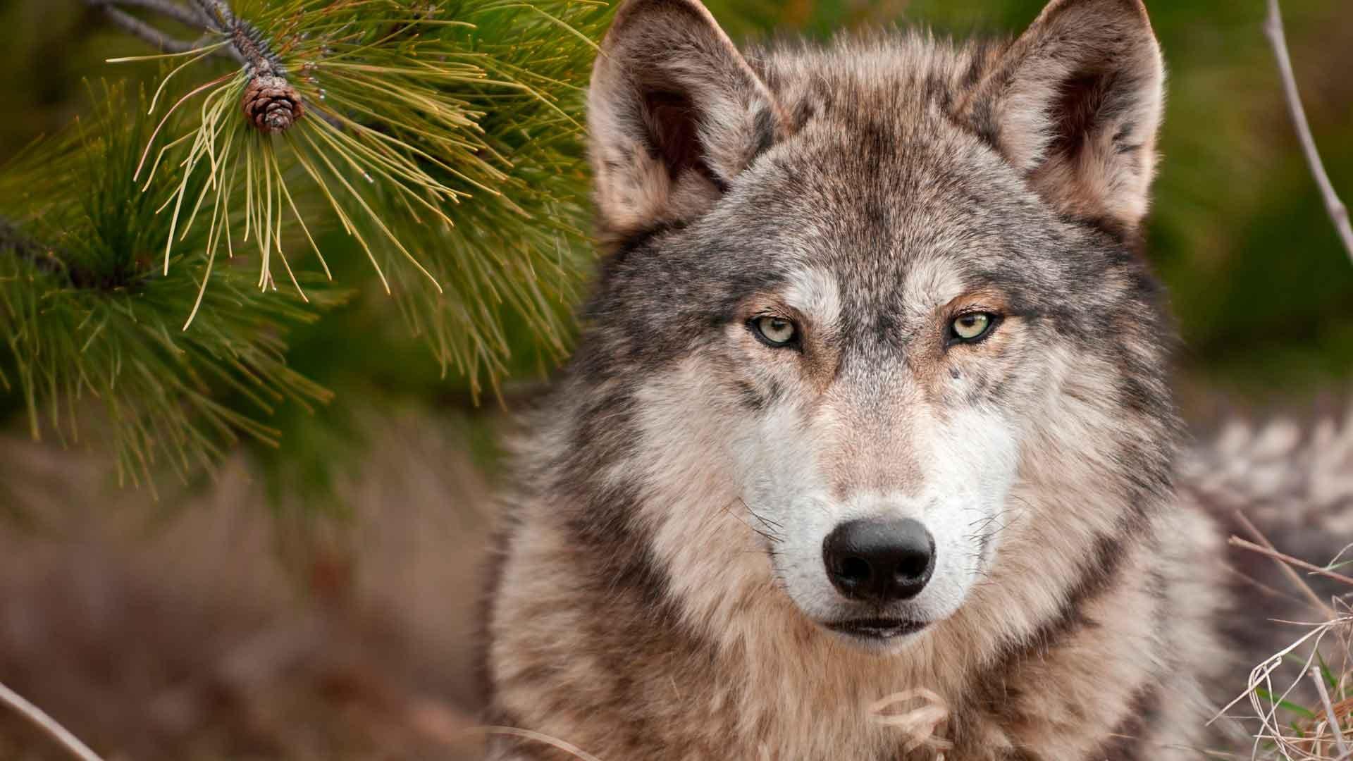 Доклад о волке маленький 8022