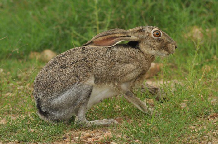 Калифорнийский заяц