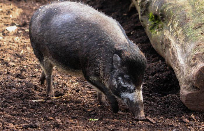 Свинья бородавчатая