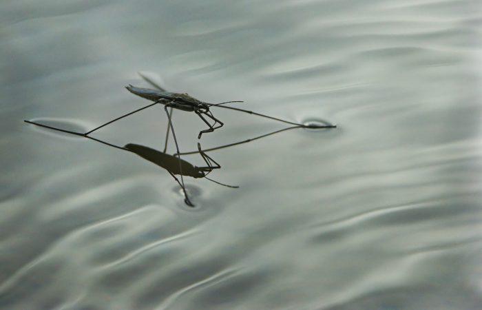 Океаническая водомерка