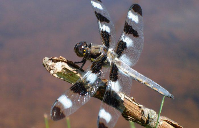 Разнокрылая стрекоза