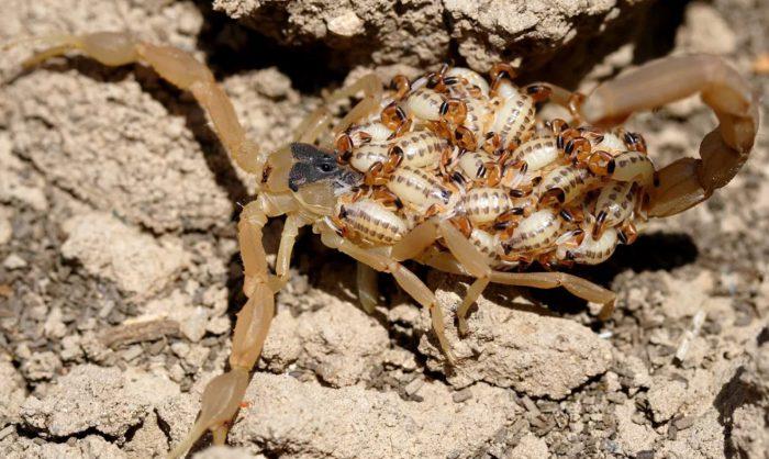 Самка скорпиона с детенышами на прогулке