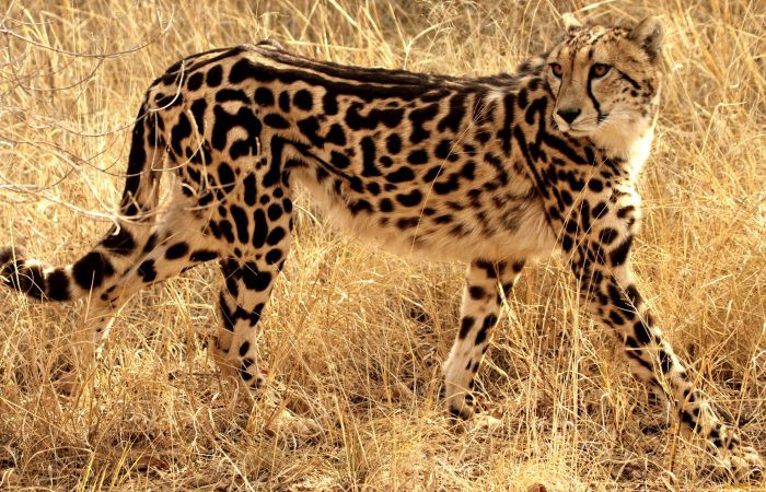 Королевский гепард
