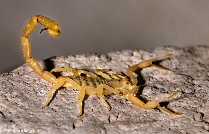 Вайовидовые скорпион