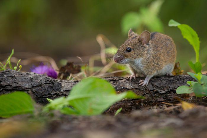 Желтогорлая мышь