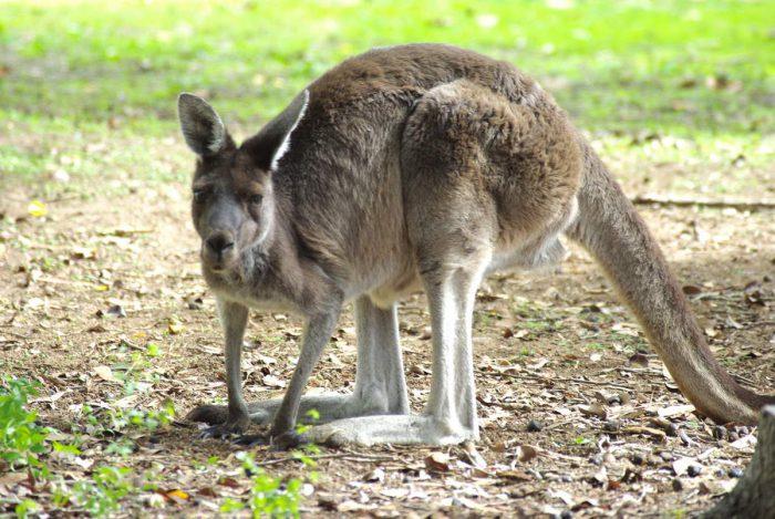 Серый кенгуру