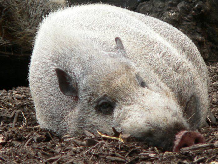 Свинья бородавчатая. Альбинос