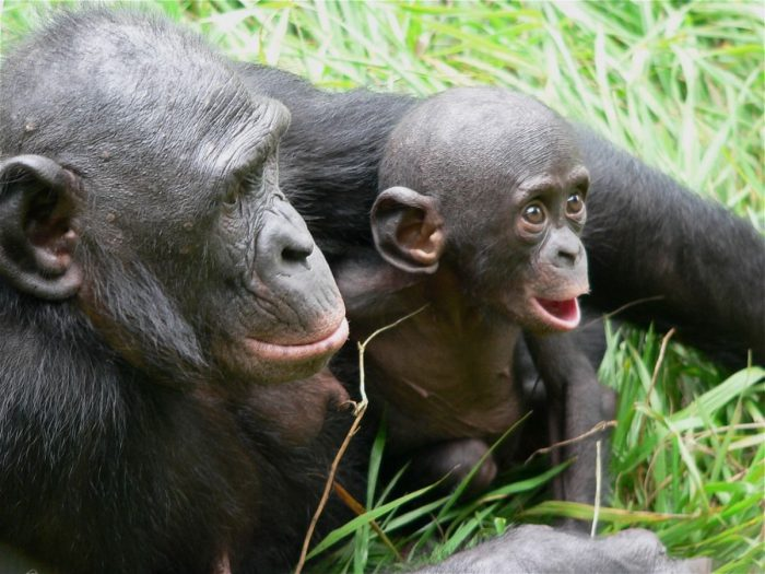 Шимпанзе карликовый