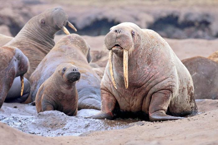 морж с детенышем