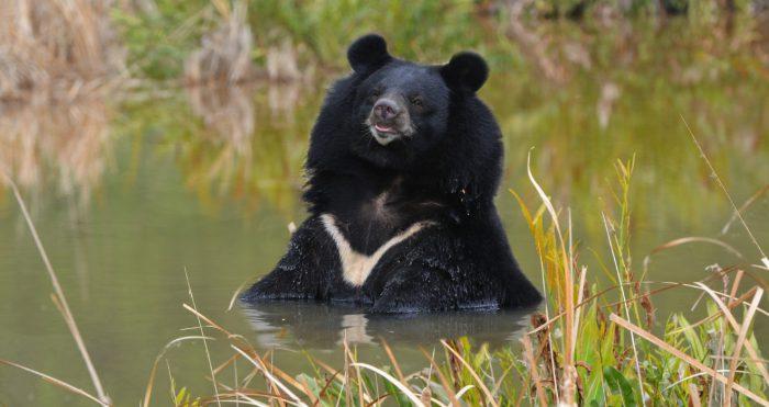 Гималайский (белогрудый, уссурийский) медведь