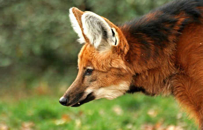 Гривистый волк (гуара)