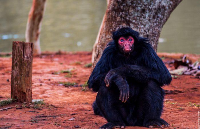 Паукообразная обезьяна (мирики)
