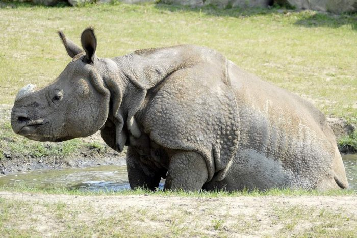 Носорог индийский