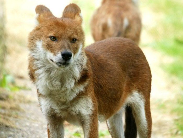 Волк красный