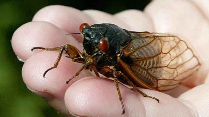 Периодическая цикада