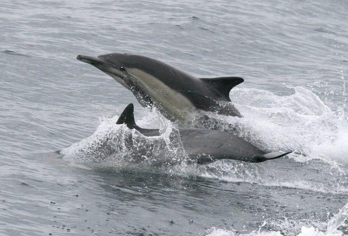 Дельфин атлантический белобокий