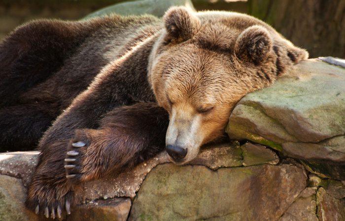 спячка у животных