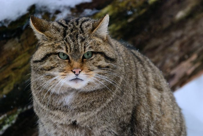 Кошка лесная кавказская